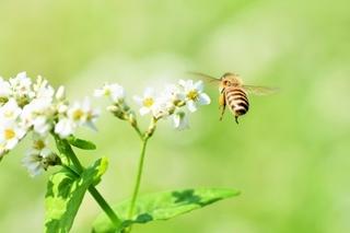 そばの花とミツバチ.jpg