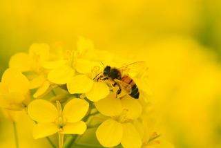 菜の花とミツバチ.jpg