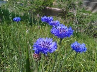 青い花.jpg